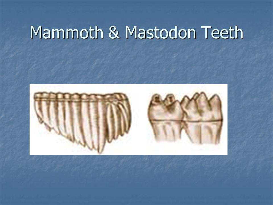 Mammoth & Mastodon Teeth