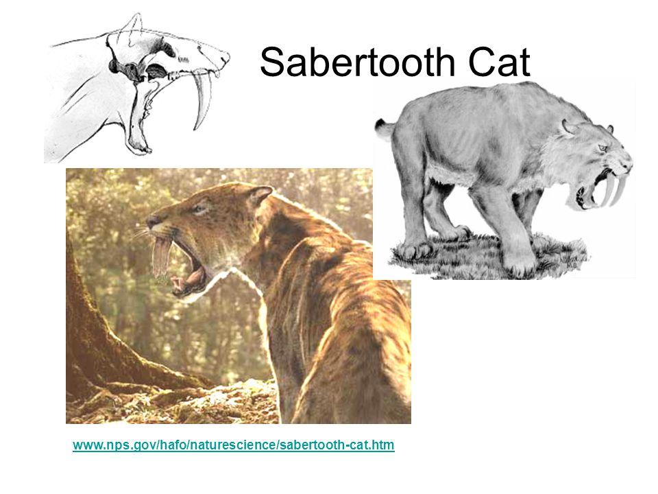Sabertooth Cat www.nps.gov/hafo/naturescience/sabertooth-cat.htm http://www.ology- kids.com/science/biodiversity/extinction/R esourcesBestiaryFS.html