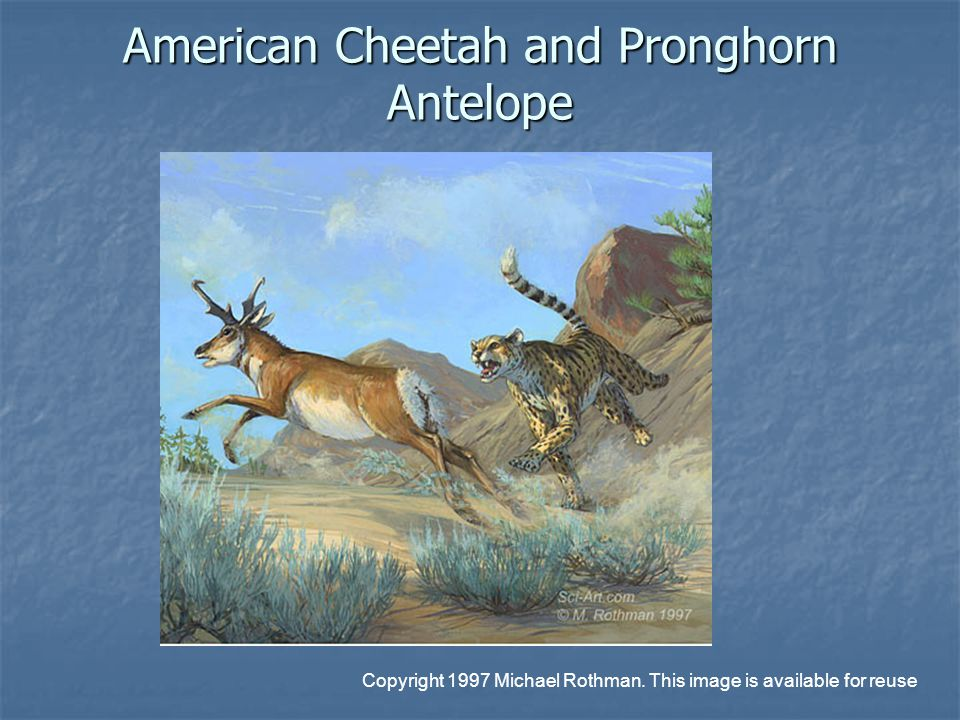 Copyright 1997 Michael Rothman. This image is available for reuse American Cheetah and Pronghorn Antelope