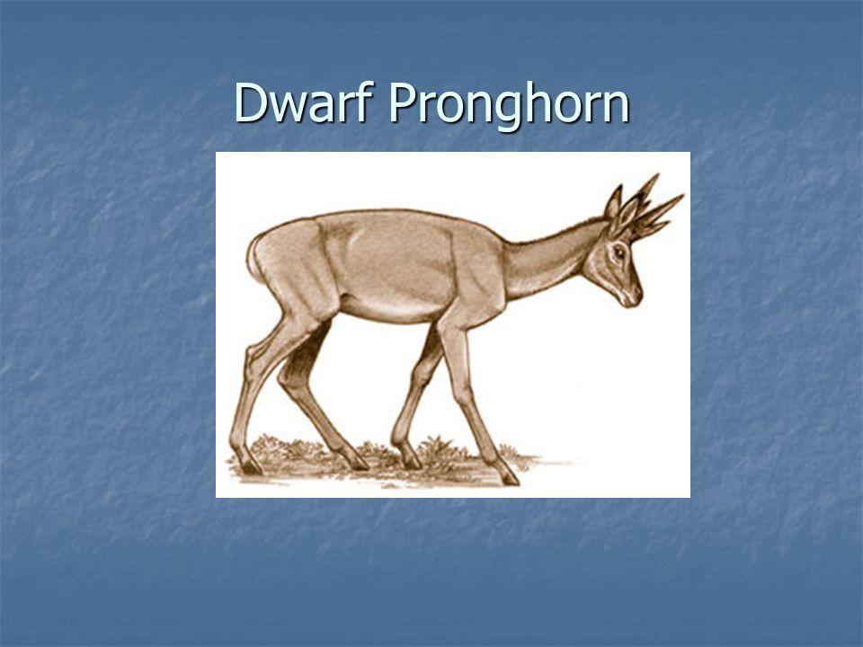 Dwarf Pronghorn