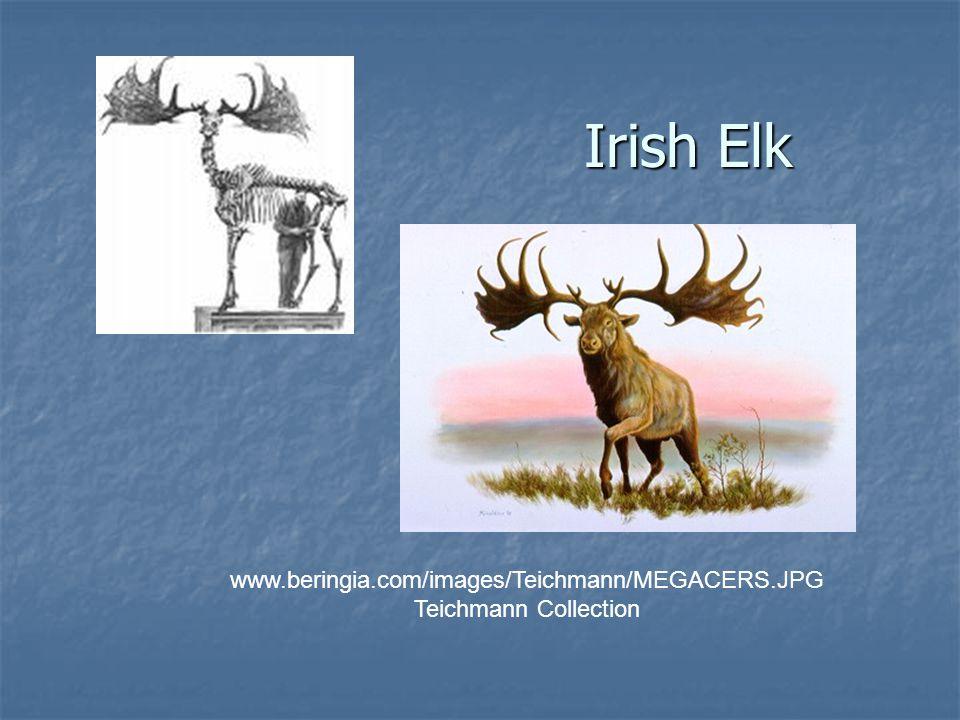 Irish Elk www.beringia.com/images/Teichmann/MEGACERS.JPG Teichmann Collection
