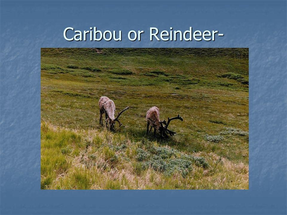 Caribou or Reindeer-