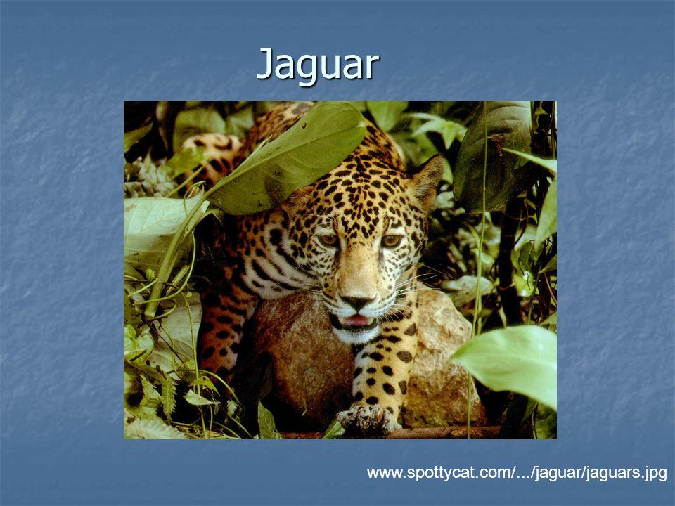 Jaguar www.spottycat.com/.../jaguar/jaguars.jpg