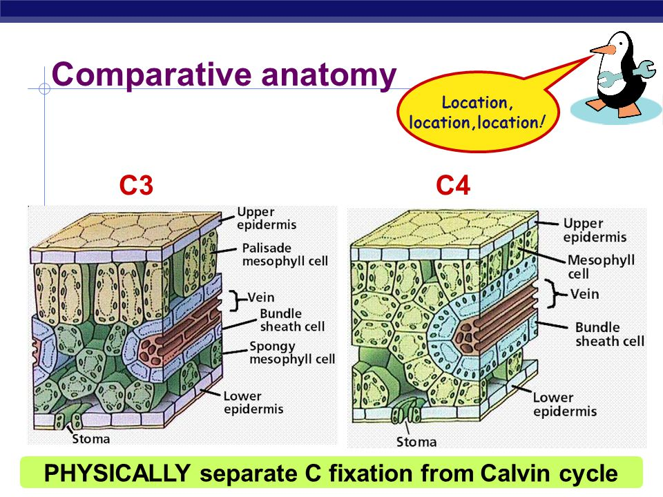 AP Biology C4 leaf anatomy PEP (3C) + CO 2  oxaloacetate (4C) CO 2 O 2 light reactions C4 anatomy C3 anatomy  PEP carboxylase enzyme  higher attraction for CO 2 than O 2  better than RuBisCo  fixes CO 2 in 4C compounds  regenerates CO 2 in inner cells for RuBisCo  keeping O 2 away from RuBisCo bundle sheath cell RuBisCo PEP carboxylase stomate