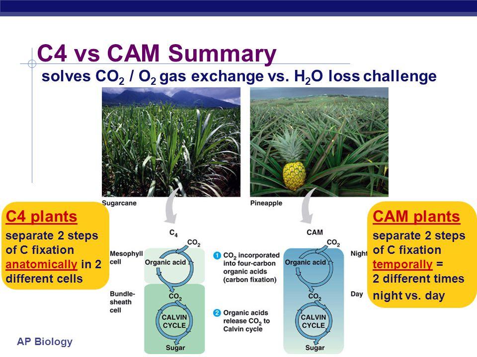AP Biology CAM plants succulents cacti pineapple