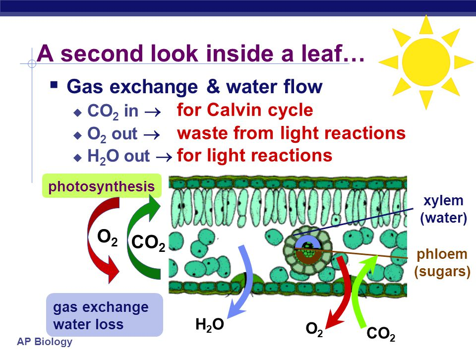AP Biology When stomates close… xylem (water) phloem (sugars) H2OH2O O2O2 CO 2 O2O2  Closed stomates lead to…  O 2 build up  from light reactions  CO 2 is depleted  in Calvin cycle  causes problems in Calvin Cycle The best laid schemes of mice and men… and plants.