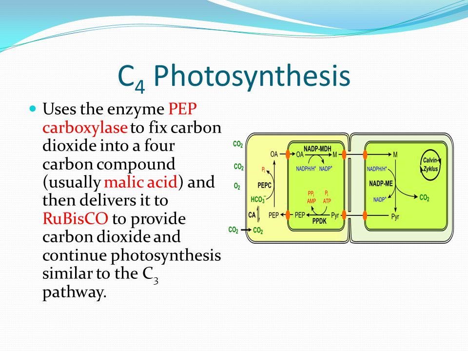 C 4 Photosynthesis Uses the enzyme PEP carboxylase to fix carbon dioxide into a four carbon compound (usually malic acid) and then delivers it to RuBi