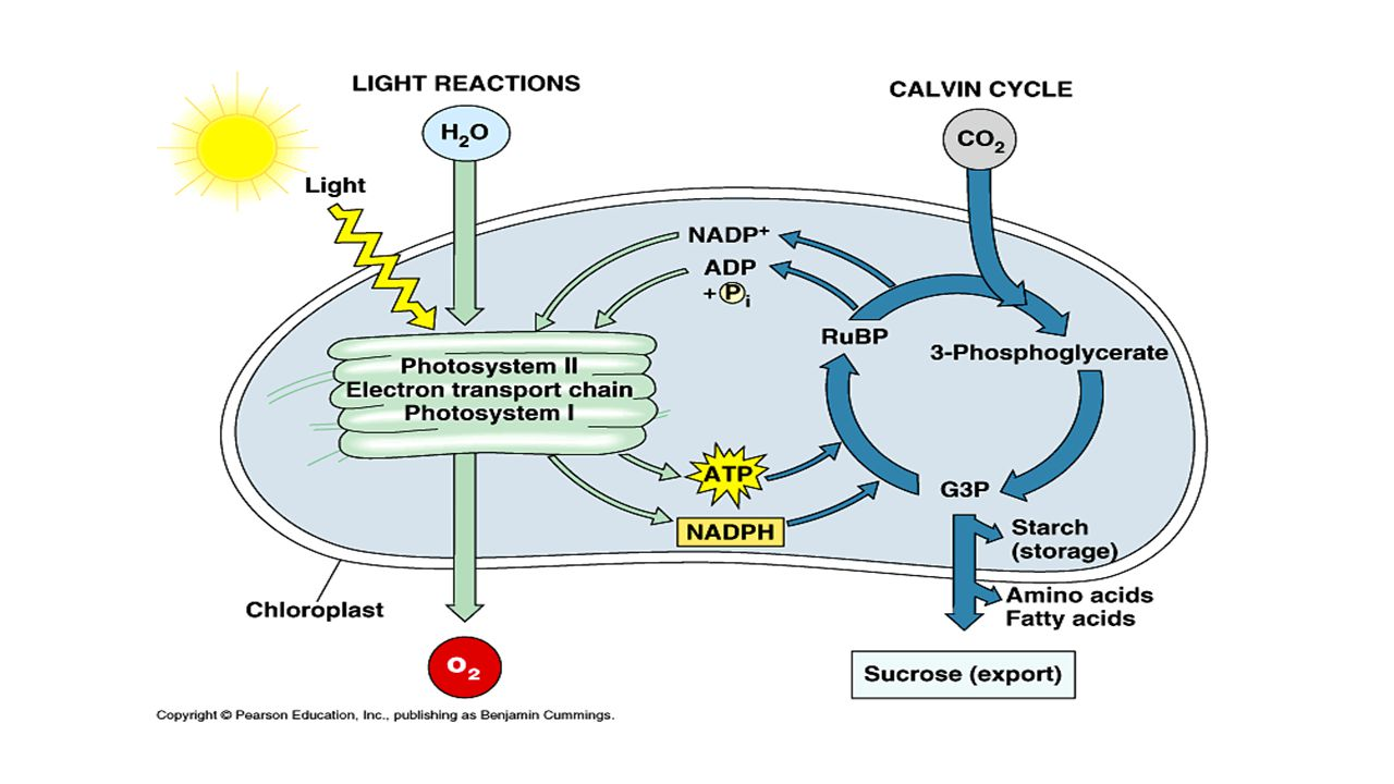 pigments absorb light which cause excited electrons to be released which are picked up by electron carriers which will be used to construct ATP & sugar