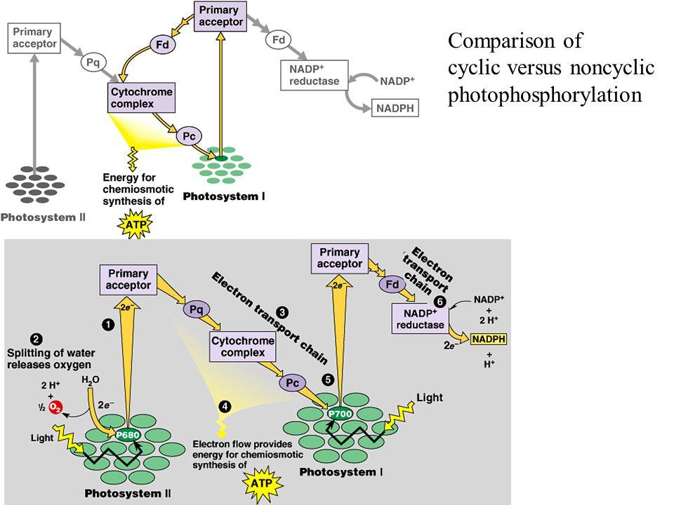 Comparison of cyclic versus noncyclic photophosphorylation