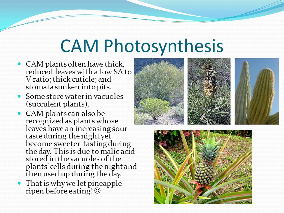 CAM Photosynthesis CAM plants often have thick, reduced leaves with a low SA to V ratio; thick cuticle; and stomata sunken into pits. Some store water