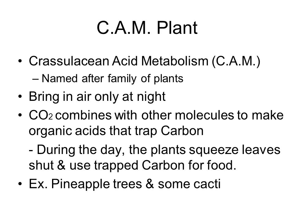 C.A.M. Plant Crassulacean Acid Metabolism (C.A.M.) –Named after family of plants Bring in air only at night CO 2 combines with other molecules to make