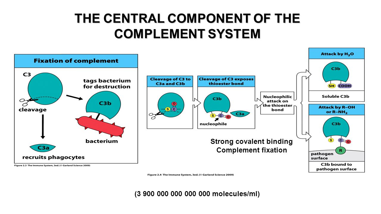 THE CENTRAL COMPONENT OF THE COMPLEMENT SYSTEM (3 900 000 000 000 000 molecules/ml) Strong covalent binding Complement fixation