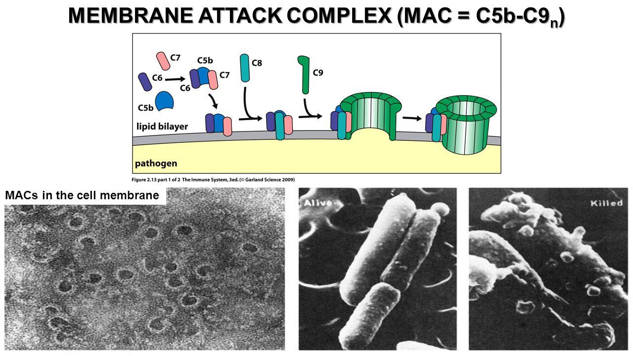 MACs in the cell membrane MEMBRANE ATTACK COMPLEX (MAC = C5b-C9 n )