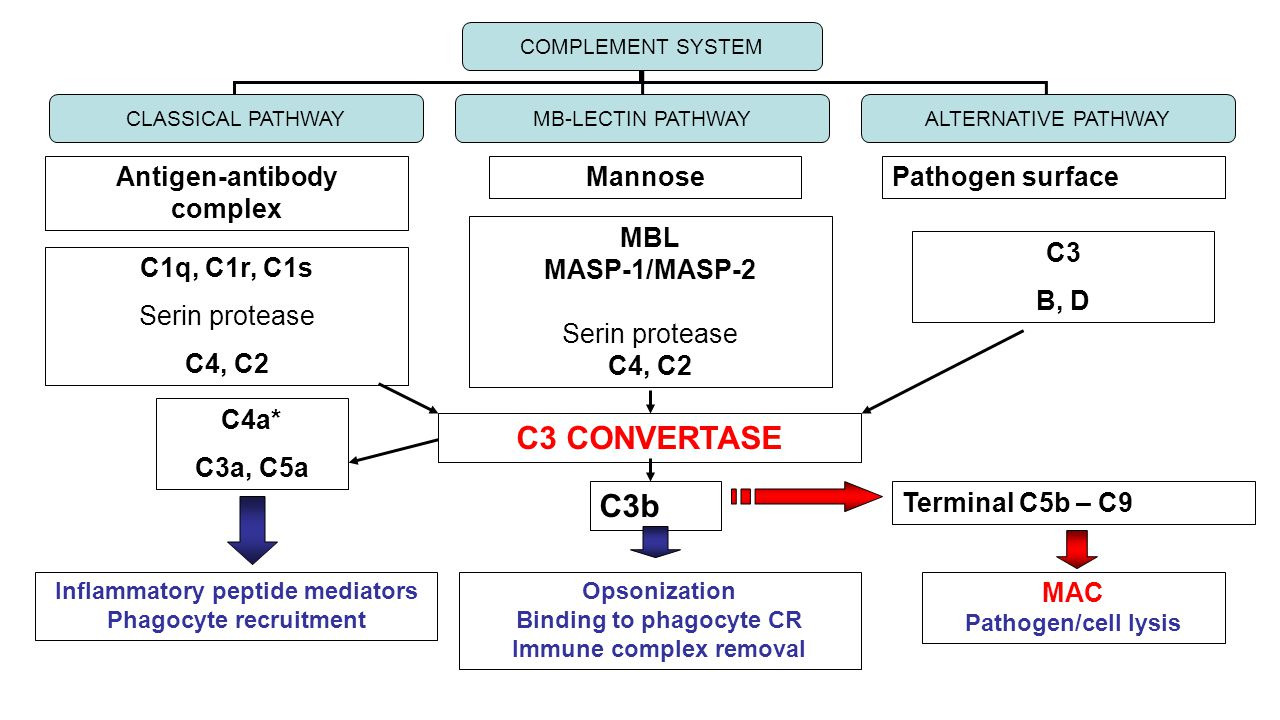 Antigen-antibody complex MannosePathogen surface C1q, C1r, C1s Serin protease C4, C2 MBL MASP-1/MASP-2 Serin protease C4, C2 C3 B, D COMPLEMENT SYSTEM CLASSICAL PATHWAYMB-LECTIN PATHWAYALTERNATIVE PATHWAY C3 CONVERTASE C4a* C3a, C5a Inflammatory peptide mediators Phagocyte recruitment C3b Opsonization Binding to phagocyte CR Immune complex removal Terminal C5b – C9 MAC Pathogen/cell lysis
