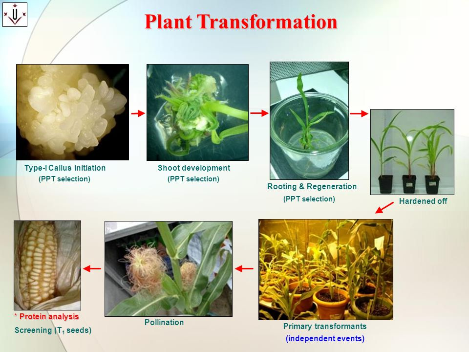 Plant Transformation Type-I Callus initiationShoot development Rooting & Regeneration Hardened off Pollination (PPT selection) * Protein analysis Scre