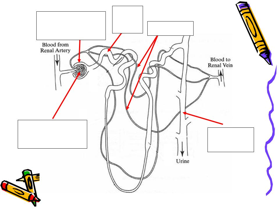 Glomerulus Bowman's capsule Kidney tubule Capillaries Collecting Tube
