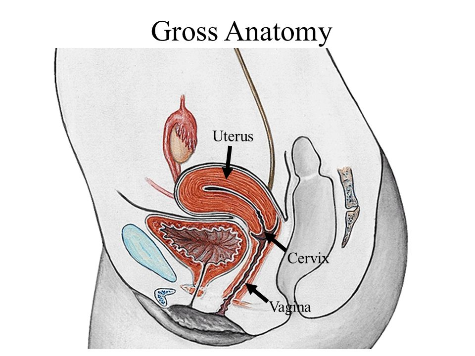 Gross Anatomy Uterus Cervix Vagina