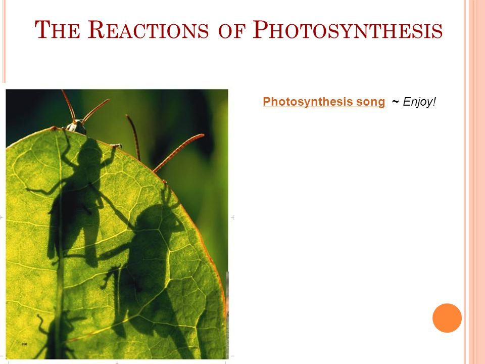 MORE IMAGES SHOWING PHOTOSYNTHESIS Copyright Pearson Prentice Hall