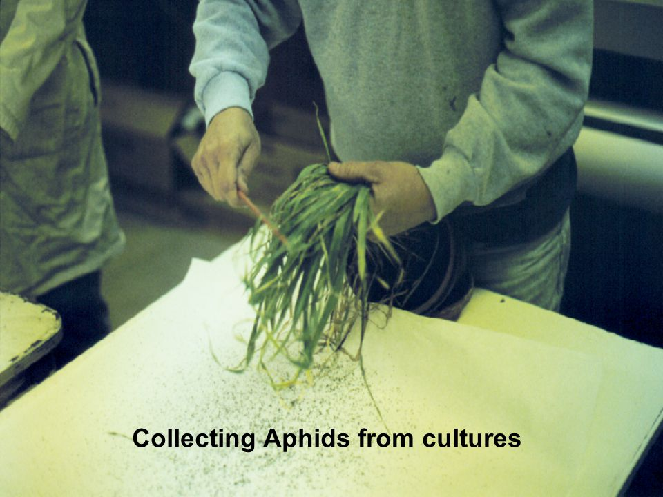Collecting Aphids from cultures