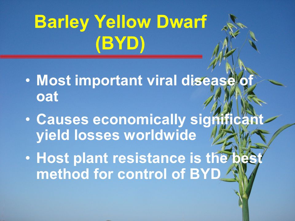 Barley Yellow Dwarf (BYD) Most important viral disease of oat Causes economically significant yield losses worldwide Host plant resistance is the best