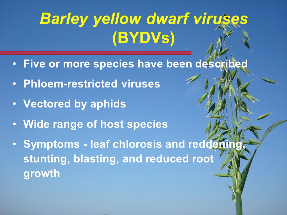 Barley yellow dwarf viruses (BYDVs) Five or more species have been described Phloem-restricted viruses Vectored by aphids Wide range of host species S