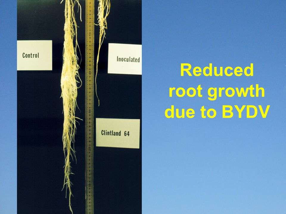 Trends in BYDV tolerance of breeding lines in Uniform Nurseries