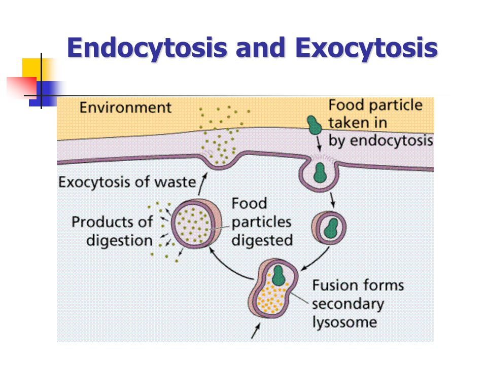 Endocytosis and Exocytosis