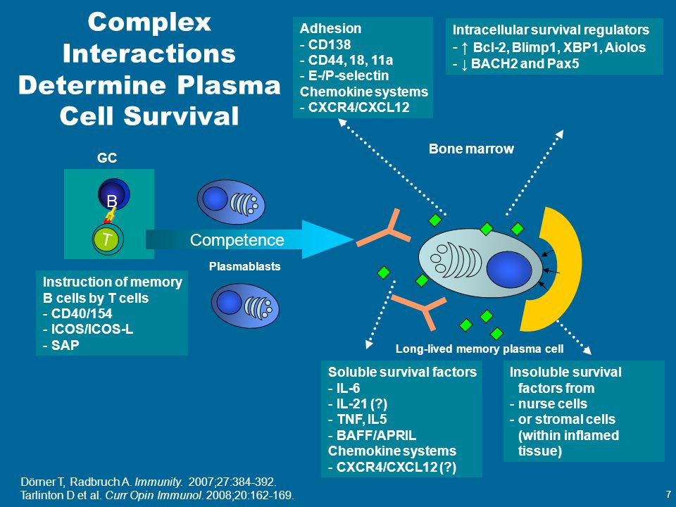 7 Bone marrow Plasmablasts Long-lived memory plasma cell B T Complex Interactions Determine Plasma Cell Survival Instruction of memory B cells by T ce
