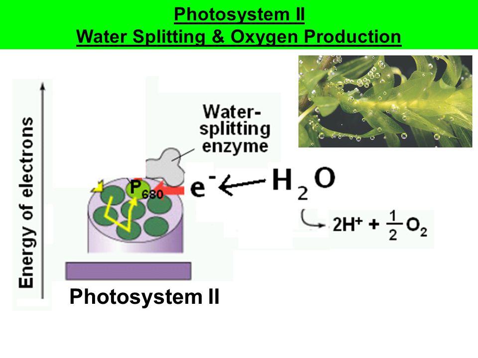 Photosystem II Water Splitting & Oxygen Production Photosystem II