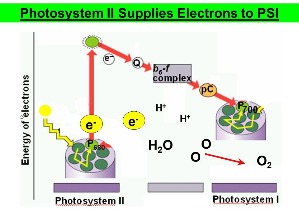 e-e- Photosystem II Supplies Electrons to PSI H2OH2O O2O2 H+H+ H+H+ e-e- O O