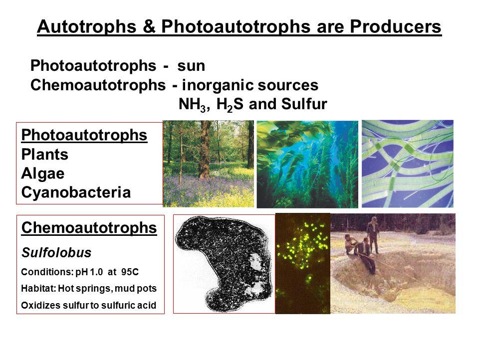 Autotrophs & Photoautotrophs are Producers Photoautotrophs Plants Algae Cyanobacteria Chemoautotrophs Sulfolobus Conditions: pH 1.0 at 95C Habitat: Hot springs, mud pots Oxidizes sulfur to sulfuric acid Photoautotrophs - sun Chemoautotrophs - inorganic sources NH 3, H 2 S and Sulfur