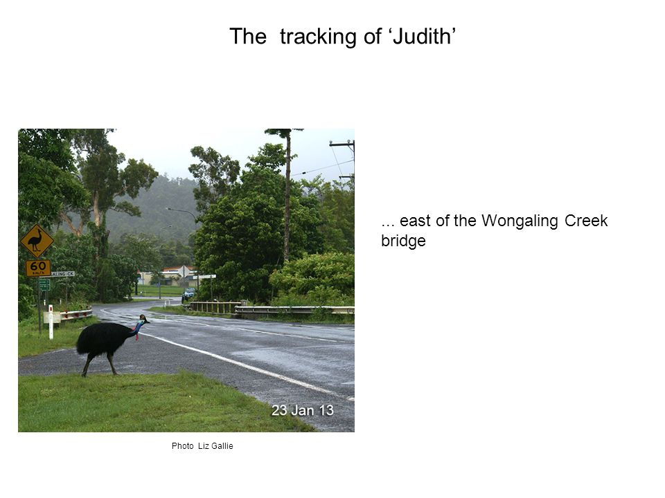 ... east of the Wongaling Creek bridge The tracking of 'Judith' Photo Liz Gallie