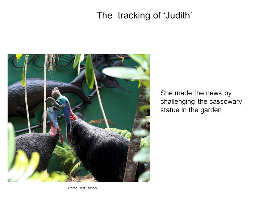 She made the news by challenging the cassowary statue in the garden.