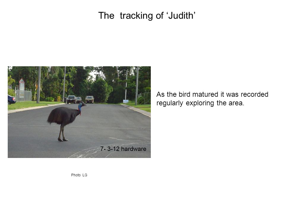 As the bird matured it was recorded regularly exploring the area. The tracking of 'Judith' Photo LG