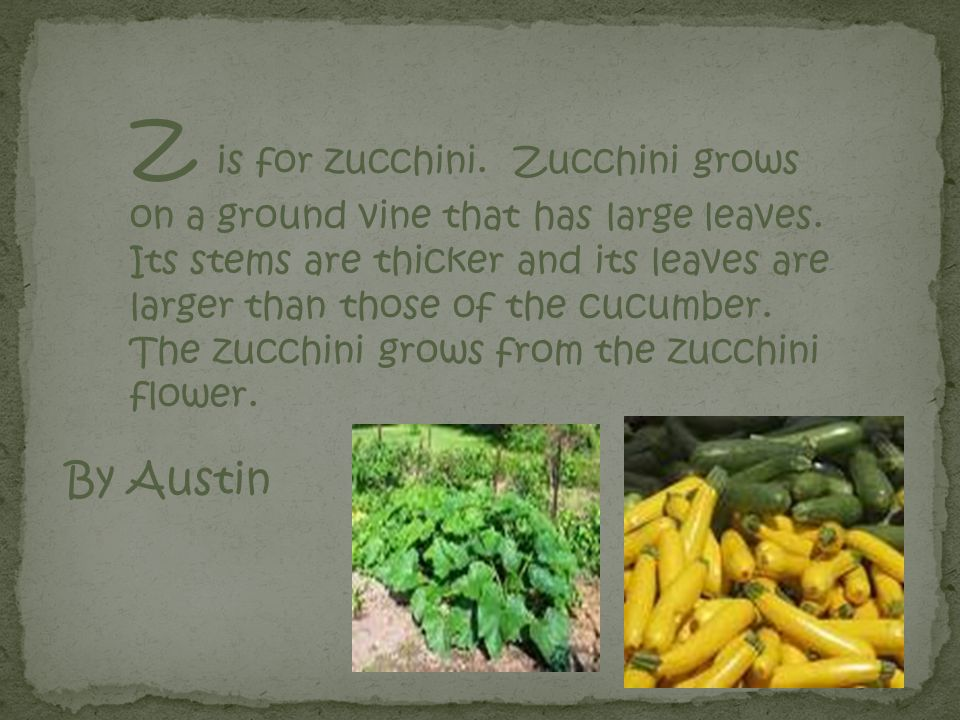 Z is for zucchini.Zucchini grows on a ground vine that has large leaves.