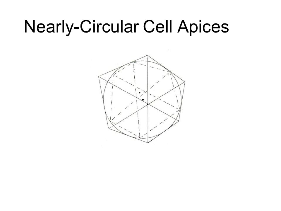 Nearly-Circular Cell Apices