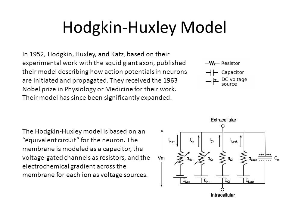 "Hodgkin-Huxley Model The Hodgkin-Huxley model is based on an ""equivalent circuit"" for the neuron. The membrane is modeled as a capacitor, the voltage-"