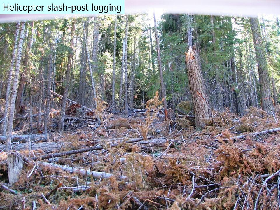 Planned prescribed fir nightmare Helicopter slash-post logging