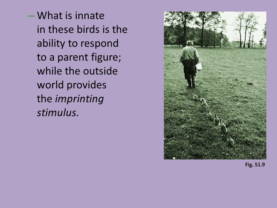 – What is innate in these birds is the ability to respond to a parent figure; while the outside world provides the imprinting stimulus. Fig. 51.9