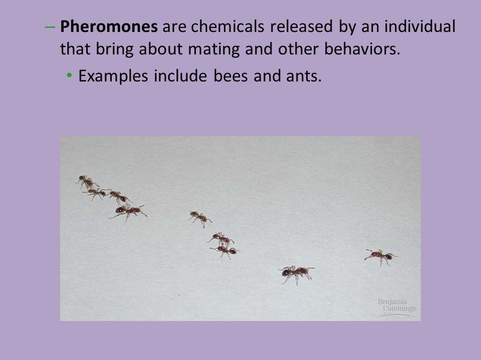 – Pheromones are chemicals released by an individual that bring about mating and other behaviors. Examples include bees and ants.