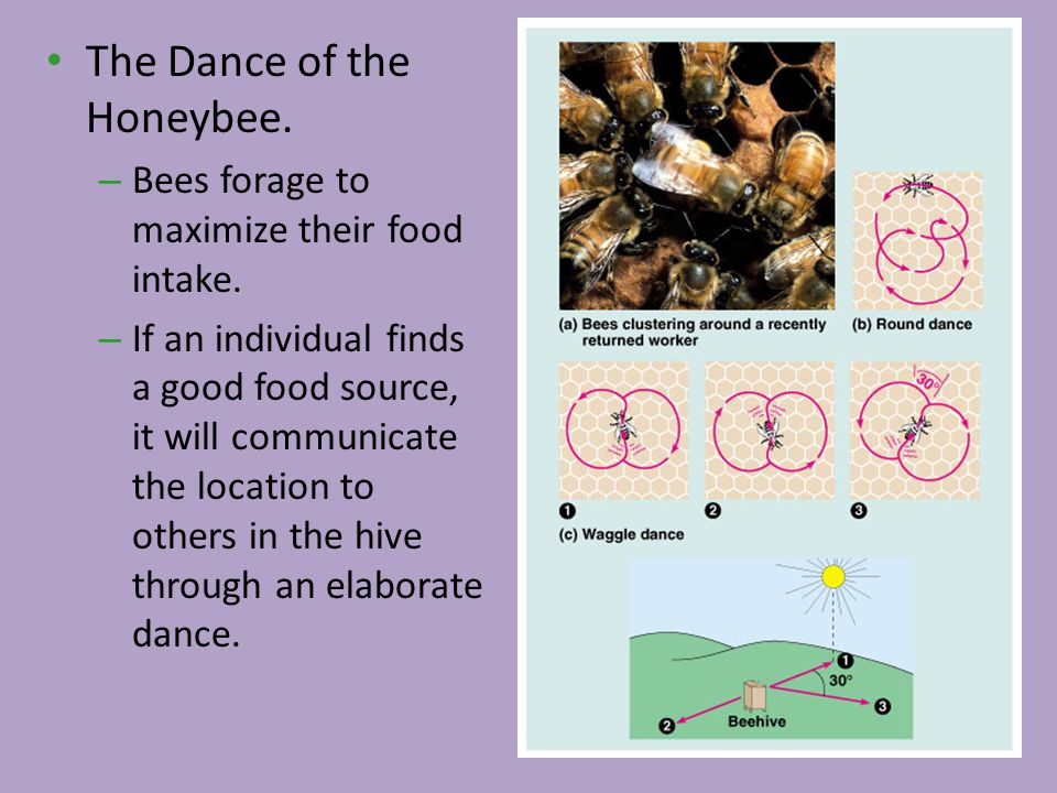 The Dance of the Honeybee. – Bees forage to maximize their food intake. – If an individual finds a good food source, it will communicate the location