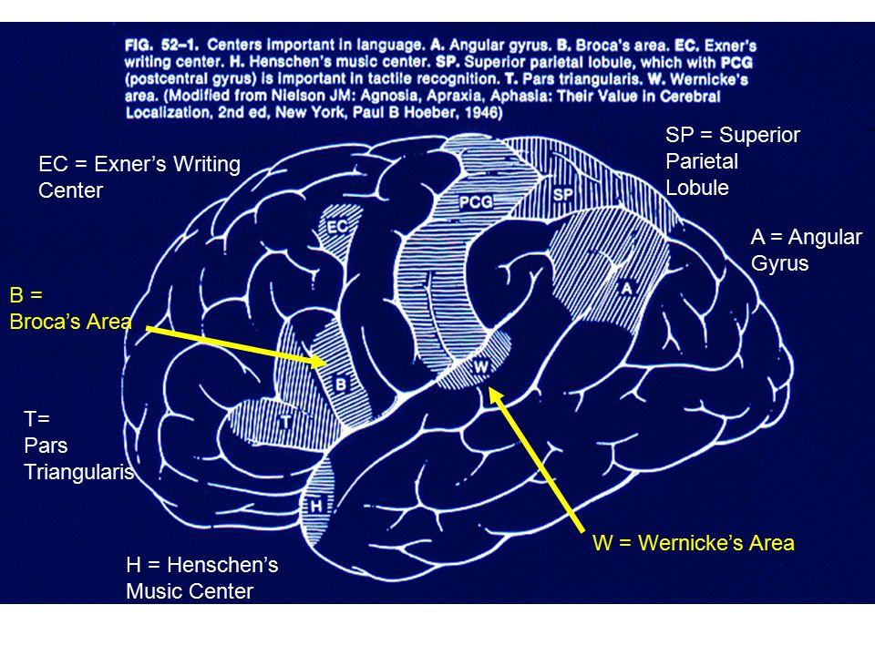 A = Angular Gyrus SP = Superior Parietal Lobule B = Broca's Area T= Pars Triangularis H = Henschen's Music Center EC = Exner's Writing Center W = Wern