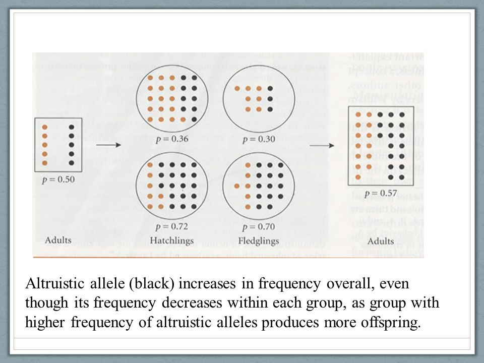 Altruistic allele (black) increases in frequency overall, even though its frequency decreases within each group, as group with higher frequency of alt