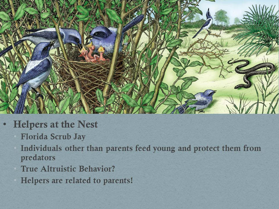 Helpers at the Nest Florida Scrub Jay Individuals other than parents feed young and protect them from predators True Altruistic Behavior? Helpers are