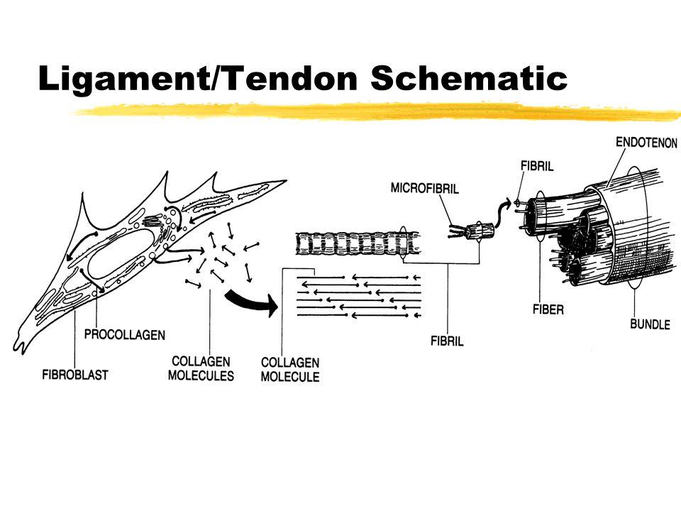 Ligament/Tendon Schematic