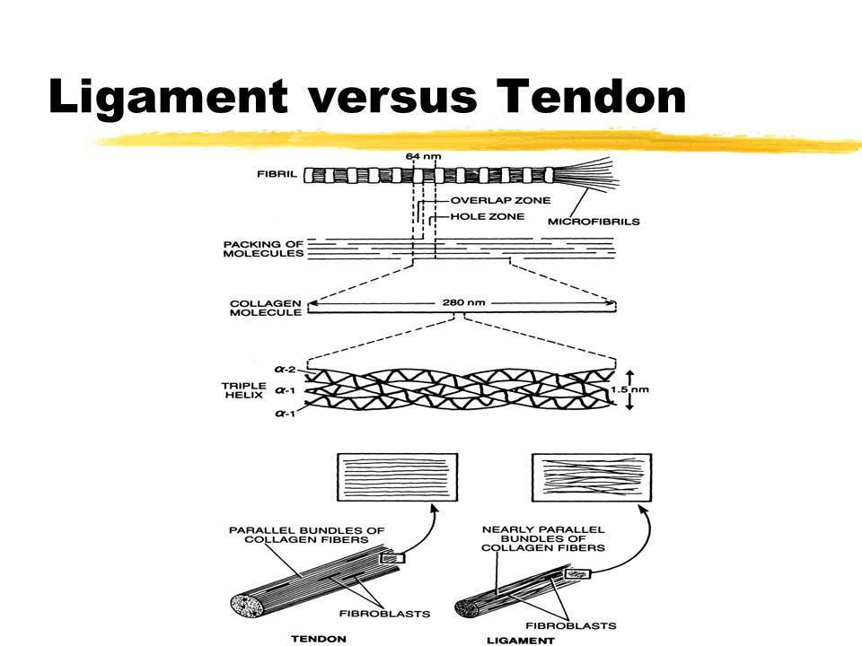 Ligament versus Tendon