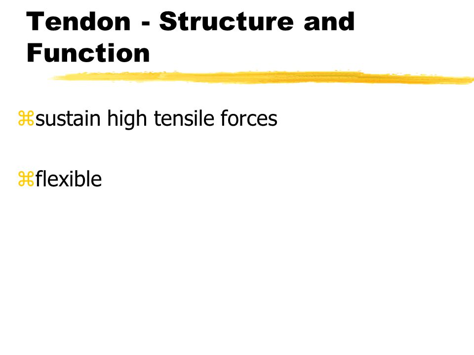 Tendon - Structure and Function z sustain high tensile forces z flexible