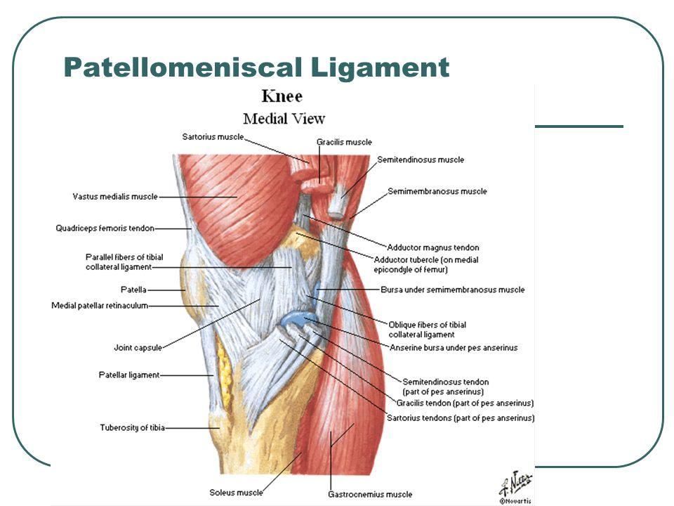 Patellomeniscal Ligament