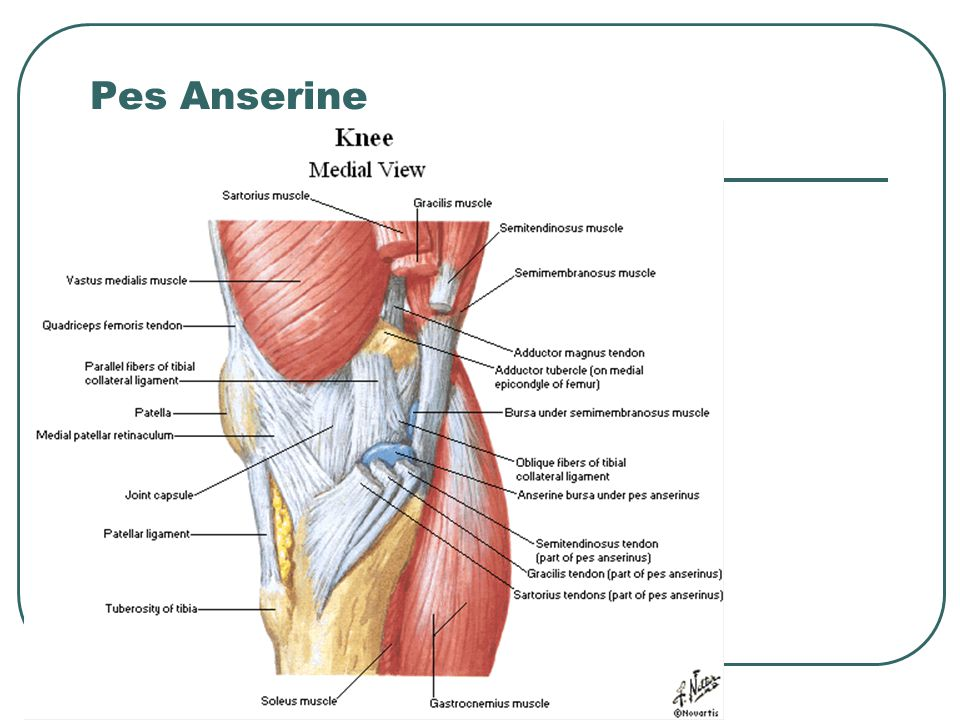Pes Anserine