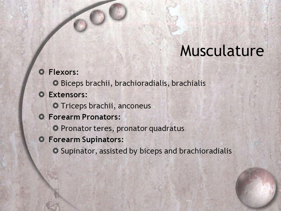Musculature  Flexors:  Biceps brachii, brachioradialis, brachialis  Extensors:  Triceps brachii, anconeus  Forearm Pronators:  Pronator teres, p